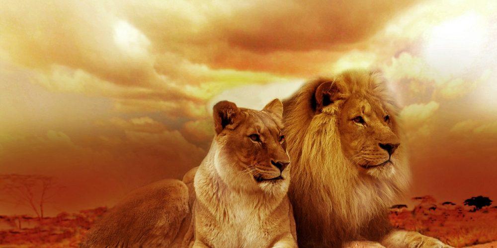 Och vi möts igen, kungen av alla djur – Lejonet